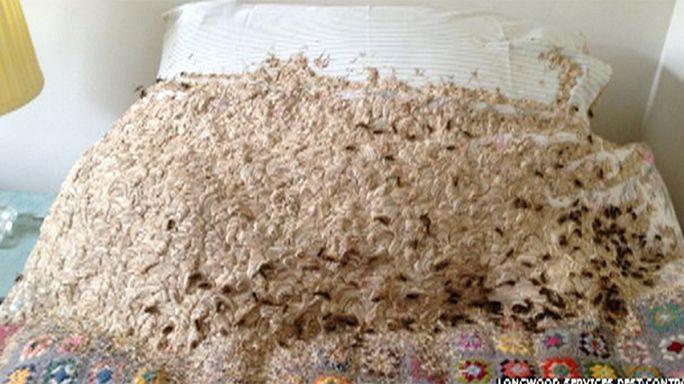 Grande-Bretagne : 5000 guêpes élisent domicile dans le lit d'une chambre d'hôte