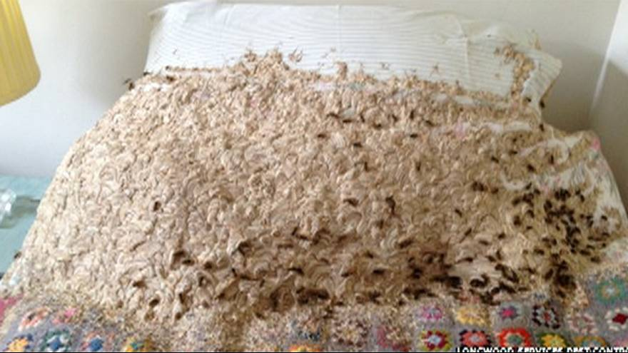 Not your usual bedfellows: '5,000' wasps build giant nest in bedroom