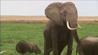 Gli elefanti hanno il miglior fiuto della Terra