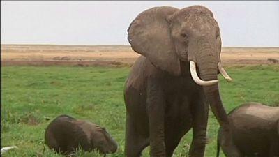 Elephants smell better