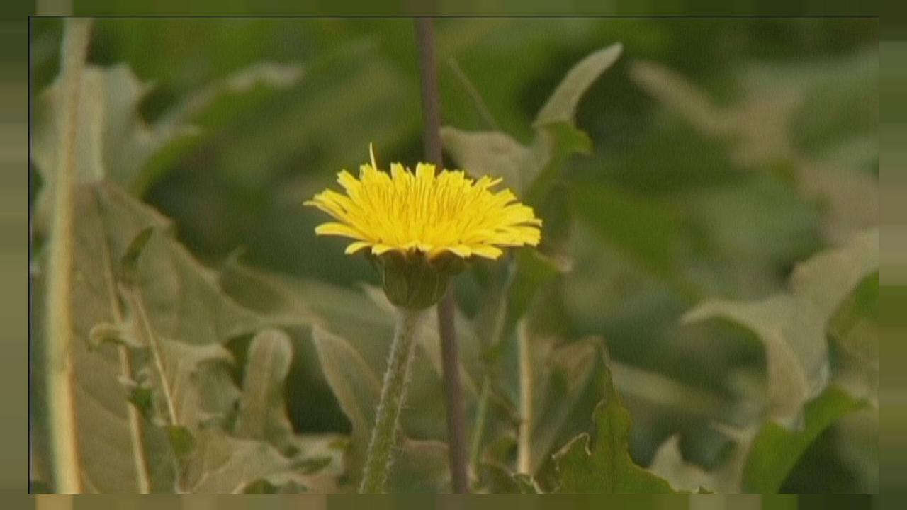 Turning dandelions into tyres