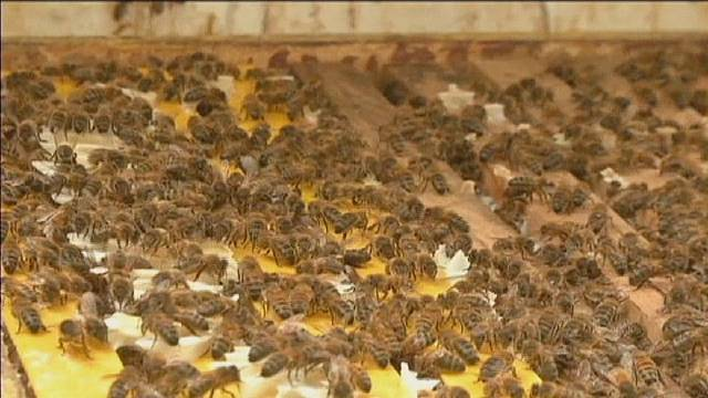 Bee's honey could replace antibiotics