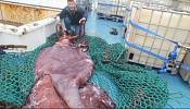Colossal squid studied in New Zealand