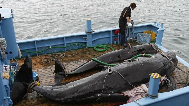 Chasse à la baleine : un coup de harpon dans l'eau ?