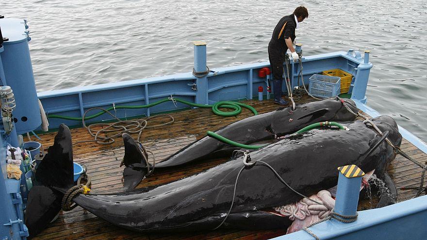 Jagd auf Wale: Japan auf der Anklagebank