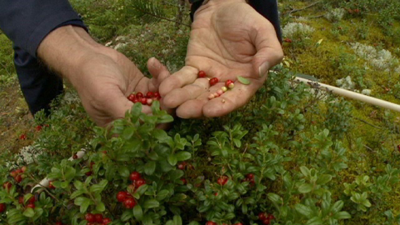 Waldernte in Finnland: Die kleinen Schätze der Natur