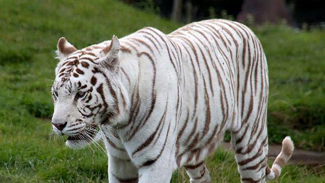 """Tausende wollen den """"Killer-Tiger"""" sehen"""