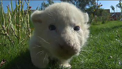 White lion cubs make first public appearance in Crimea zoo – nocomment