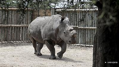 Extinction warning for northern white rhino
