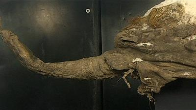 Well-preserved mammoth carcass goes on display in Moscow – nocomment