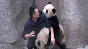 Two young pandas fighting with their breeder