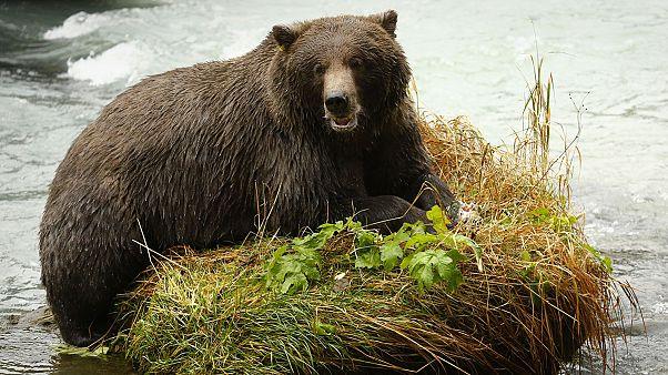 Cazar osos con donuts como cebo y otras iniciativas que se votan hoy en EEUU