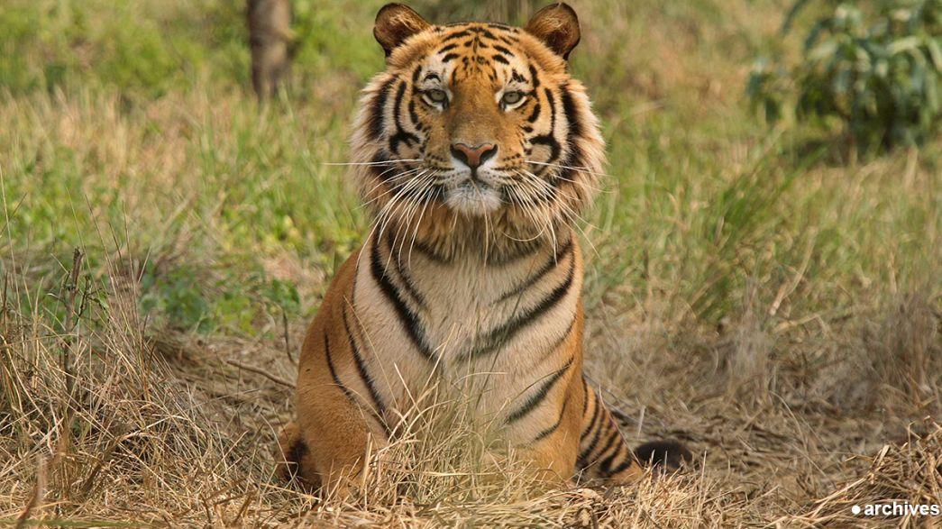 France : quel est ce félin qui s'est mis dans la peau d'un tigre ?
