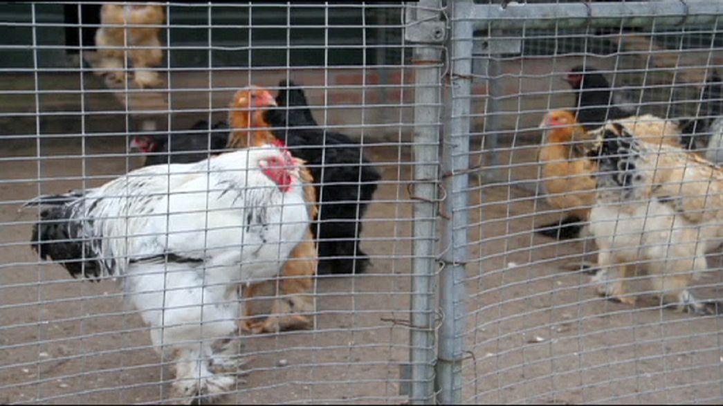Influenza aviaria: Commissione Ue adotta misure per casi in tre Paesi