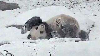 Παιχνίδια με το χιόνι για τον... Ντα Μάο - Βίντεο