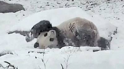 [Watch] Panda plays in snow at Toronto zoo