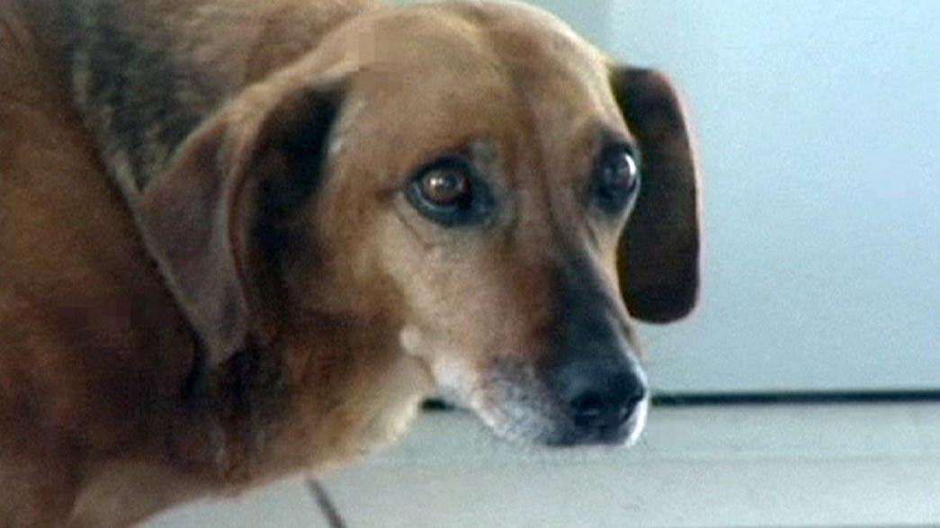 La lealtad sin fin de un perro siberiano
