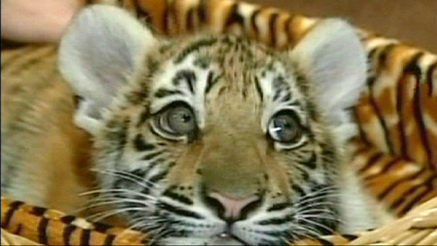Tigres russos andam a matar cabras na China