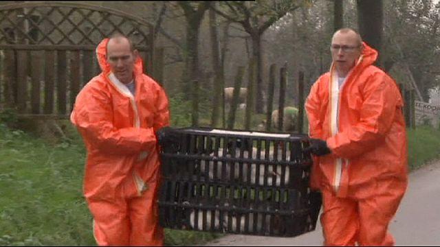 اكتشاف إنفلونزا الطيور في مزرعة للدواجن بهولندا