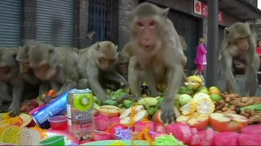 Thailand: Macaques feast during Lopburi Monkey Festival