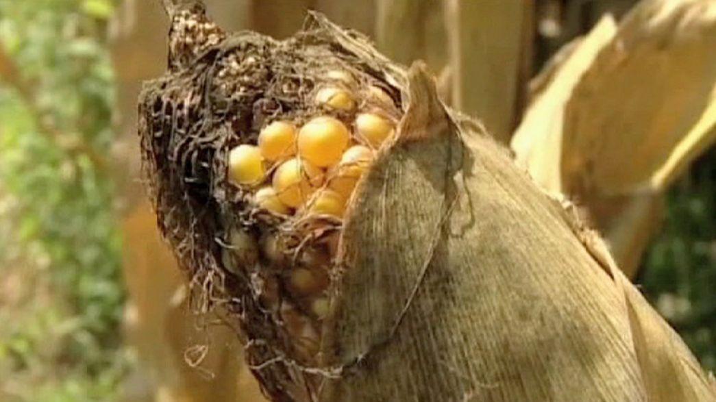 Einigung zu neuen Anbauregeln für Genpflanzen