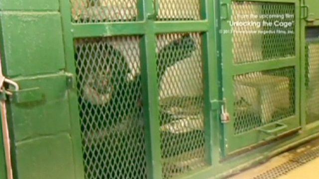 Csimpánz, emberi jogok nélkül