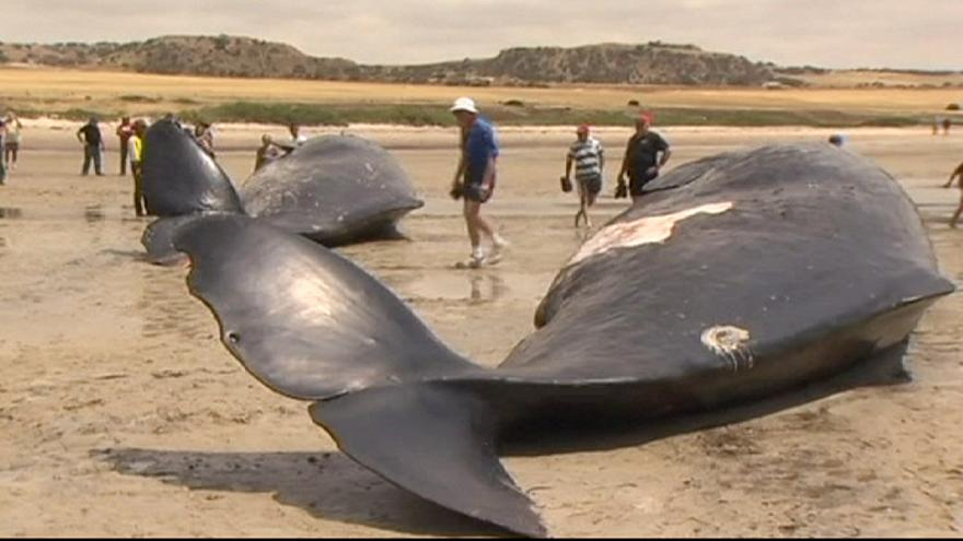 Six sperm whales die after beaching in Australia