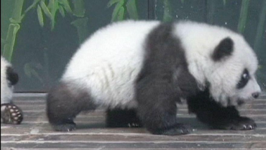 Panda-Drillinge: Online-Taufe