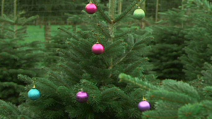 A tökéletes karácsonyfák termesztésére törekednek Dániában.