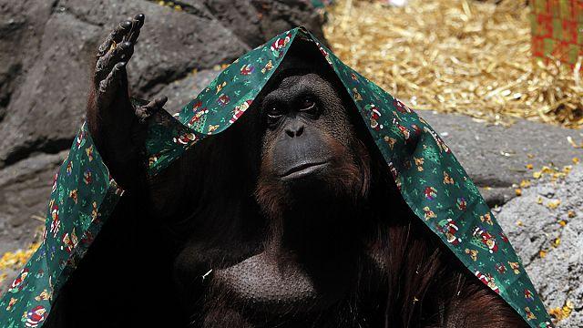 Argentine : un tribunal reconnaît un orang-outan comme « personne non humaine »