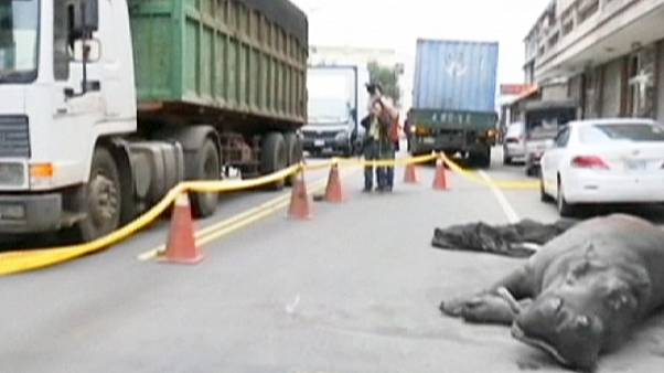 Sad end for hippo that jumped from back of truck in Taiwan
