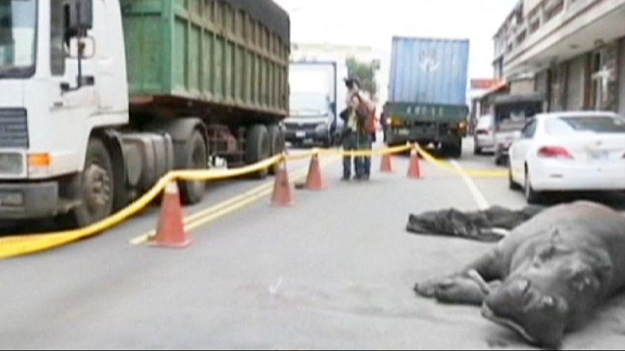 Tayvan'da nakil sırasında kamyondan düşen su aygırı öldü
