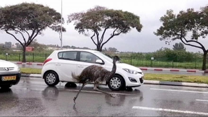 Escaped emu turns heads on Israeli highway