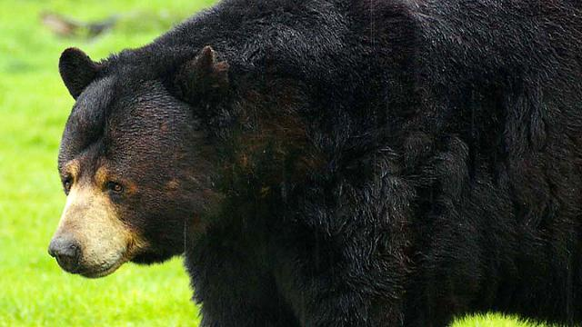 Bears poisoned by chocolate overdose