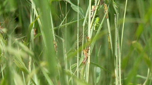 Madagascar sous la menace des criquets