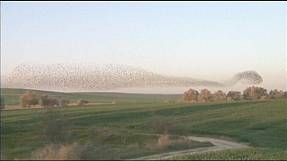 Synchronised starlings fly over Israel