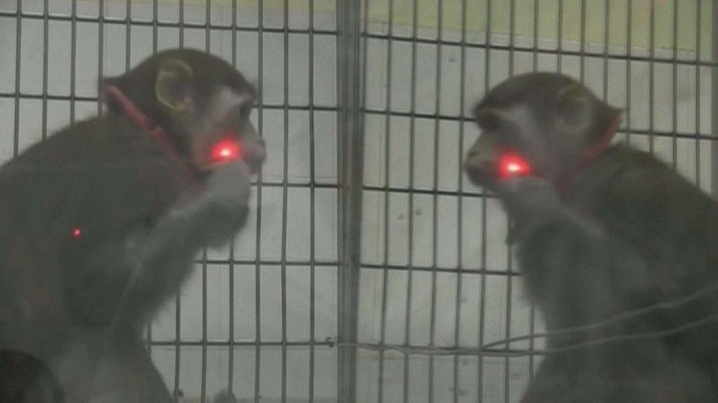 Οι πίθηκοι αναγνωρίζουν τον είδωλό τους στον καθρέφτη