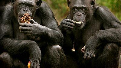 Des chimpanzés apprennent de nouveaux mots pour dialoguer avec d'autres