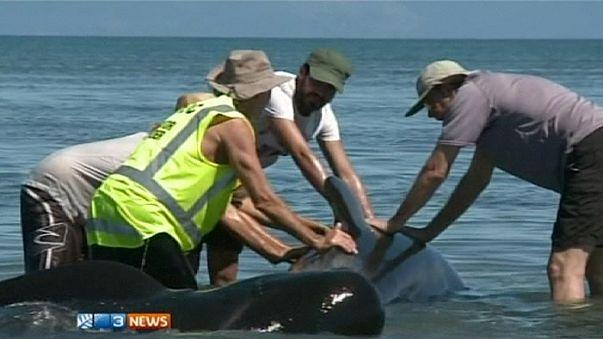 200 ballenas varadas en la costa neozelandesa