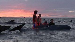 Yeni Zelanda'da karaya vuran 200 pilot balinanın yarıya yakını öldü.