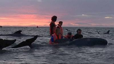 Mueren un centenar de ballenas varadas en Nueva Zelanda