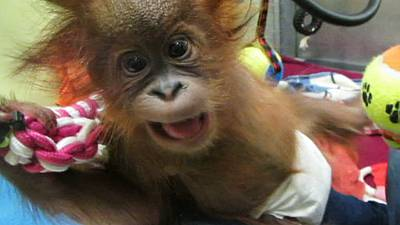 Baby orangutan arrives in UK rescue centre – nocomment