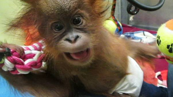 Una bebé orangután llega a un centro del Reino Unido