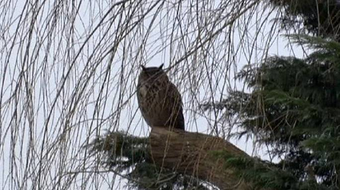 Dutch town cowers in terror over Eagle owl attacks