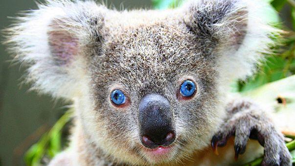 Australia culls hundreds of koalas