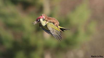Woodpecker and weasel vs the internet