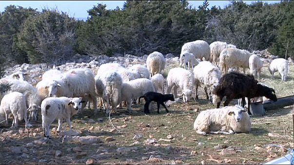 Croatie : balles de laine contre les nappes de pétrole ?