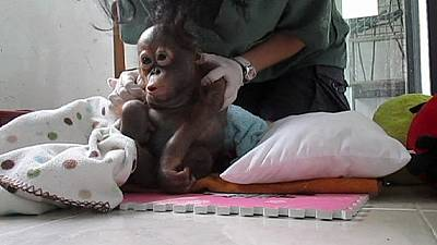 Baby orangutan bounces back – nocomment