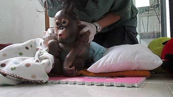 Bebek orangutan iyileşiyor