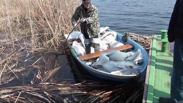 Bulgaria: altri pellicani morti per l' influenza avaria